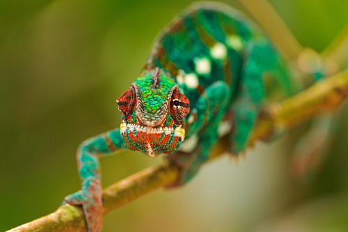 無料写真素材, 動物 , 爬虫類, カメレオン