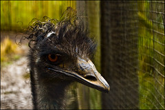 Auckland Zoo - Ostrich