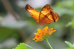 Schmetterling 16 (hellboy2503) Tags: orange flower nature canon butterfly germany natur butterflies blumen images 100mm gelb 7d getty blau falter makro bltter gettyimages jrg schmetterling nektar gettyimagescallforartists gettyimagesartistpicks peregrino27macro hellboy2503