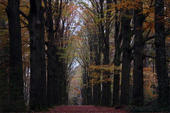 Black Beechlane (Godesinge) Tags: autumn trees fall bomen herfst beukenlaan ©godesinge beechlane henkgeuzinge