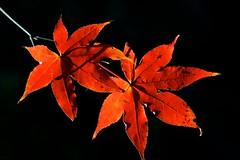 Twice as beautiful (Deb Jones1) Tags: autumn red macro fall nature beauty leaves japan garden outdoors japanese 1 jones leaf flora colours explore deb maples flickrduel