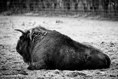 Not enjoying the rain (www.chriskench.photography) Tags: nikon beds bedfordshire nikkor whipsnadezoo zsl 70100 d700 kenchie