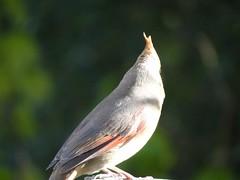 DSC01251 (rhombidec) Tags: female cardinal baltimore sonydschx100v