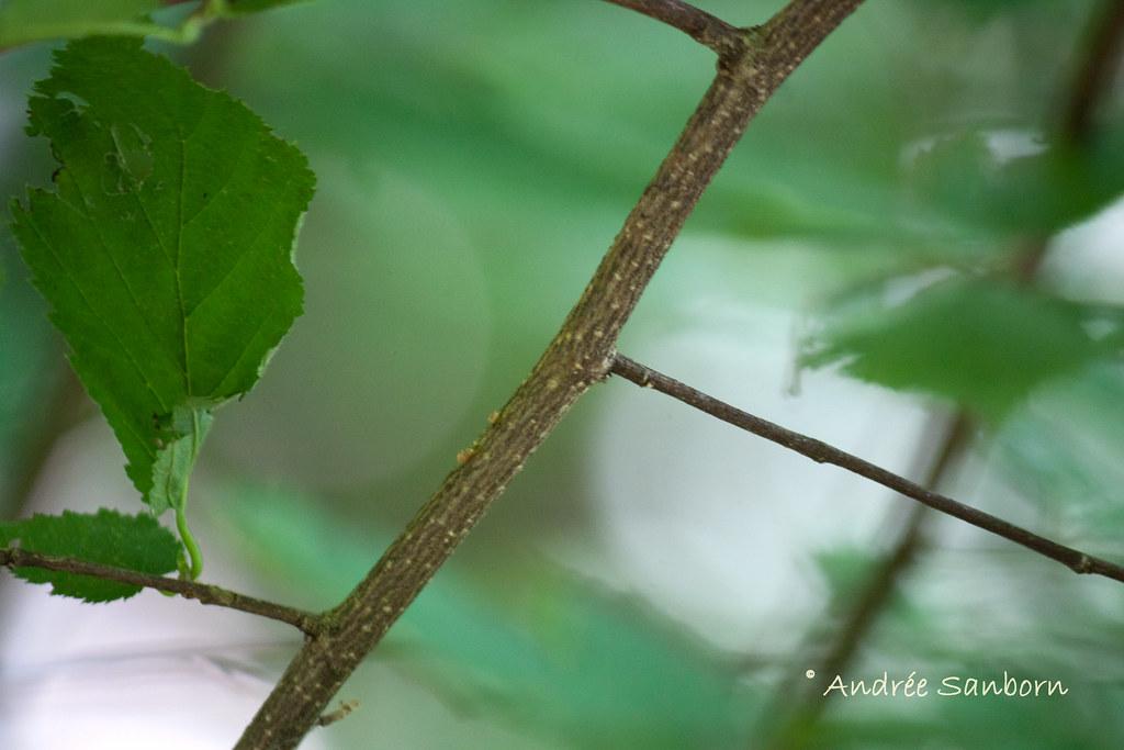 Eastern Beaked Hazel and Fruit (Corylus cornuta var. cornuta)-5.jpg