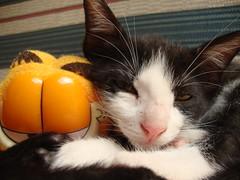 Cats taking a nap (Circe Licht) Tags: cats cat nap sleep gatos sleepy kitties dormir garfield sono gatinhos soneca takeanap