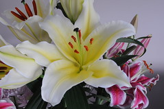 Open White Lily (GE Cox) Tags: flowers garden lily lilies stamen stigma filament whitelily tepal gynoecium