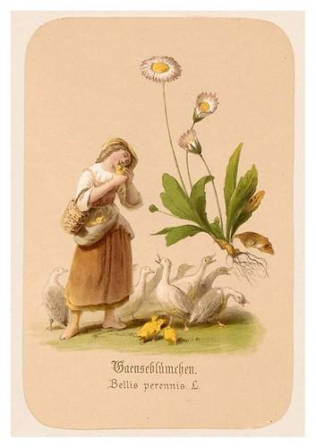 016-Margaritas-Illustrirtes Kräuterbuch –Aquarelle- 1870-Adolf Schroedter