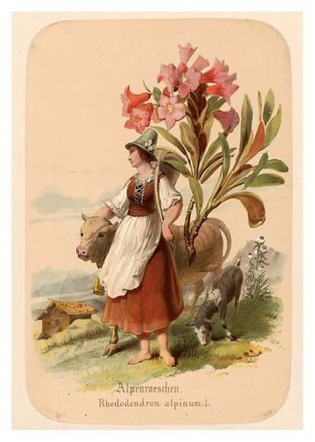 001-Ramillete alpino-Illustrirtes Kräuterbuch –Aquarelle- 1870-Adolf Schroedter