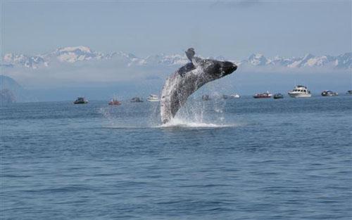 Alaska_Humpback_Whale_by_Judy_Beeks.jpg