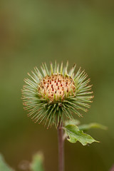 Arctium (mari-we) Tags: autumn plant macro nature river germany deutschland herbst pflanze tamron rhine karlsruhe rhein rheinaue altrhein badenwrttemberg floodplain arctium auen neureut