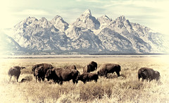 The Old West Lives (Jeff Clow) Tags: buffalo wildlife bison oldwest grandtetonnationalpark antelopeflats jacksonholewyoming