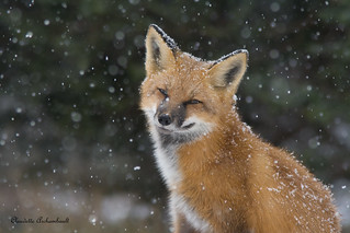 Renard Roux, Red Fox