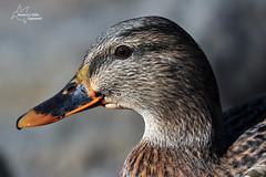 Female Mallard Close Up (*~ Nature's Gifts Captured  ~*) Tags: autumn lake nature water up duck newjersey nikon close wildlife mallard specanimal d300s