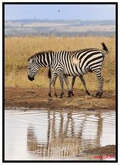 zebra across pond (M Z Malik) Tags: africa nikon kenya wildlife ngc safari autofocus f4g nairobinatpark 200400 d3x200400f4g bestevercompetitiongroup me2youphotographylevel2 me2youphotographylevel3 me2youphotographylevel1 me2youphotographylevel4 vigilantphotographersunite vpu2 vpu3 vpu4 vpu5 vpu6 vpu7 vpu8 vpu9