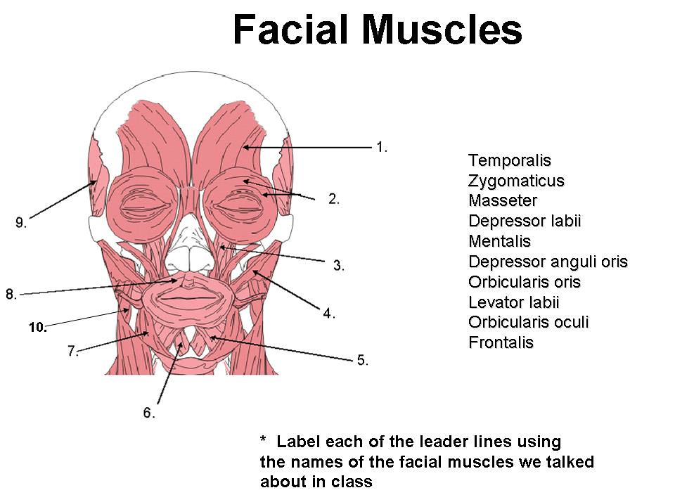 unit 4 part 2 -- face muscles worksheet, Muscles