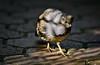 Sun Dappled Quail (mjkjr) Tags: atlanta bird canon ga georgia shadows dof availablelight atl wildlife birding botanicalgarden dappled atlantabotanicalgarden quail telephotolens 135mm f20 135l sundappled 60d ef135mmf2lusm mjkjr httpwwwflickrcomphotosmjkjr