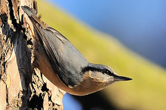 Nuthatch in traditional pose (Rivertay07) Tags: bird geotagged rivertay nationaltrust nuthatch sittaeuropaea hatfieldforest coth copyrightprotected supershot specanimal itsawonderfulworld avianexcellence d3s richardstead hg~sb ruby10 ruby5