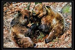 Baciami ancora ( marcocalia ) Tags: bear park italy parco animal forest nikon kiss italia mark wildlife trento marco animale vr trentino bacio orso foresta calia 70300 baciami nikonclub faunistico spormaggiore d700 亲吻,亲吻,熊,动物,森林,标记,calia,尼康,d700,300分之70,vr,特伦托,意大利,spormaggiore,公园,野生动物, 、キス、クマ、動物、森林、印、カリア、ニコン、d700、300分の70、vr、トレント、イタリア、spormaggiore、公園、野生生物を、キス