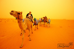 Through The Dust (MohammeD BuQuRais) Tags: winter weather for was desert cattle camel farms through kuwait horrible dust camps camels  density stables the  kabd           aljahra