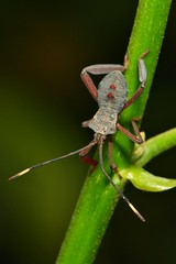 Early- to Mid-instar Leaf-Footed Bug Nymph (Prionolomia gigas, Coreidae) (John Horstman (itchydogimages, SINOBUG)) Tags: china macro true bug insect yunnan nymph leaffooted coreidae hemiptera coreoidea itchydogimages