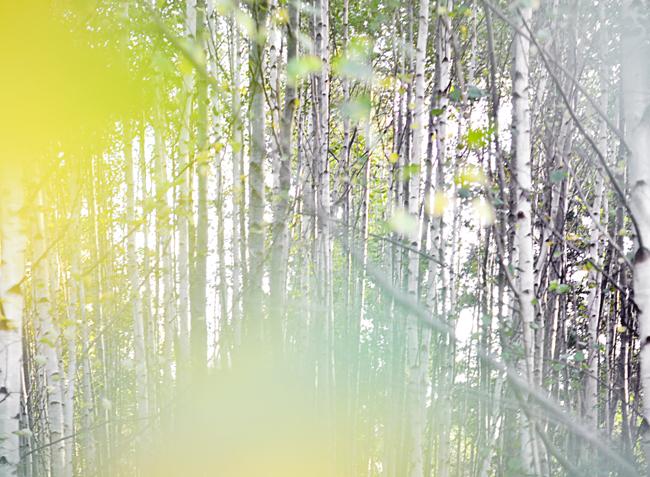 björkskogen