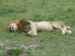 In the jungle the lion sleeps, Masai Mara (Carlos Affonso) Tags: africa kenya safari masai maasai savanna masaimara maasaimara savana qunia