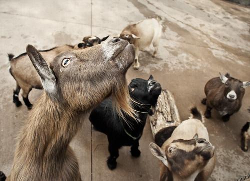 goats being weird
