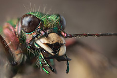 TIGER  PORTRAIT SERIES 2011  #1 (GOLDENORFE) Tags: macro insect beetle greentigerbeetle