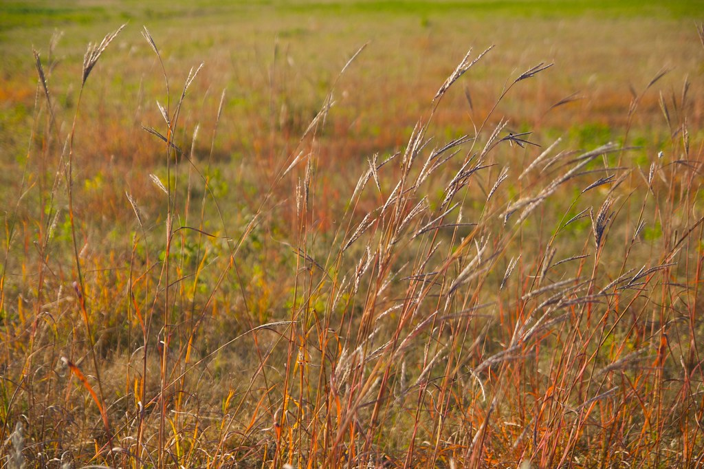 little bluestem  625