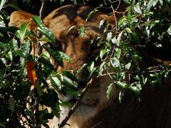 Massai Mara 1 (Ruary James Allan) Tags: masaimara massaimara kenya lion kenya1