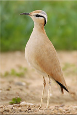 Cream-coloured Courser (ad.) - (Sameh Odeh) Tags: color birds canon mark cream 1d coloured iv cruiser cursor qatar odeh sameh 800mm creamcoloured courser cursorius          qatarbirds