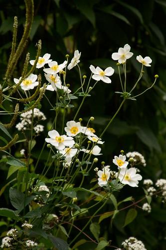 anemone honorine jobert  653