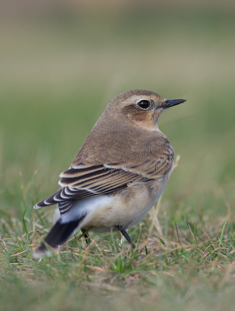 wheatear afternoon 300mm 6