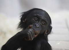 Baby Bonobo (Ian Lambert) Tags: baby cute nature forest eyes wildlife breeding thinking congo endangered primate bonobo dcr twycrosszoo