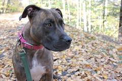 big pocono state park (fiver753) Tags: autumn dogs nature outside outdoors hiking pennsylvania pitbull molly trail poconos leash bigpoconostatepark