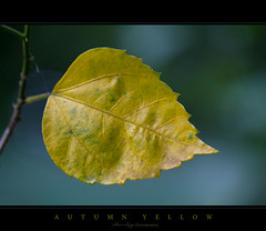 Autumn Yellow (Rhivu_Ray) Tags: world autumn shadow copyright india color art nature beauty yellow canon photography eos freedom leaf october asia close shades september 7d bengal efs kharagpur autumnyellow bestofnature bestofindia eos7d canoneos7d 55250mm paschimbanga blinkagain rhivu s55250mmf45is rhitamvarray rhivuphotography