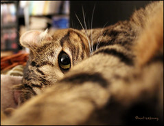 Stink Eye (montreal_bunny) Tags: pet cute eye ariel cat furry kitty ear highlandlynx wishyoucouldseethis 2011yip 3652011 musictomyeyeslevel1 efs1855mmf3556isiikitlens