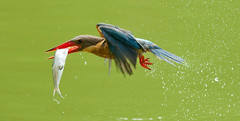 SCORED!! (SnapCroc) Tags: colour bird nature beautiful singapore fim kingfisher win botanicgardens bif actionshot birdinflight 300mmf4 storkbilledkingfisher foodinmouth