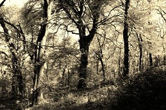 ... (life outside the fish bowl) Tags: blackandwhite bw sepia woodland woods bn explore devon devonshire southhams explored westalvington westalvingtonwoods darrenfarmer darrenfarmerexplore lifeoutsidethefishbowl