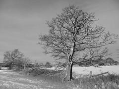 snow tree (seanofselby) Tags: snow tree north drax duffield