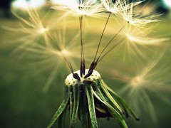Wish (pearlsandsilverroses) Tags: park autumn fall grass weeds wind wish wishingflower