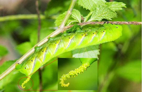 鬼臉天蛾的幼蟲長相普通,身體可呈黃綠色。圖片提供:施禮正。