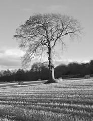 Lone Tree (7) B&W (stephen.hughes56) Tags: lonetree