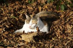getarnt (Thomas Bindreiter) Tags: autumn nature leaves cat laub herbst natur katze mieze 2011 herbst2011