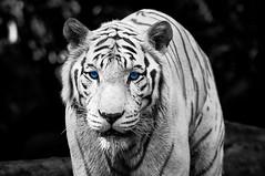 Color Key Week – The Eye Of The Tiger_4925677979_m (psvldemo) Tags: sprengben wwwflickrcomphotossprengben sprengben2010singaporerobocupgoetheschuleasienasiatravelskylinezoo sprengben2010singaporerobocupgoetheschuleasienasiatravel