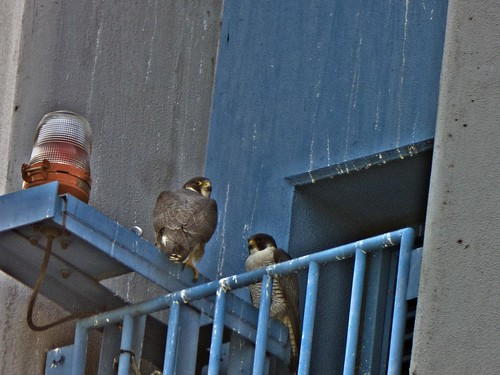 Pair of Falcon