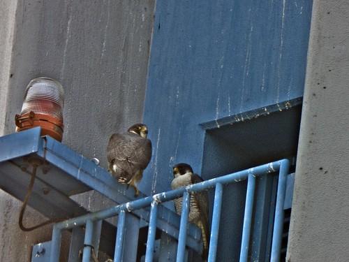 Pair of Falcon