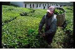 The Tea harvest (Manual) (Redt16s) Tags: tea streetphotography summicron malaysia cameronhighlands everydaylife pahang socialdocumentary teaplantation leicam2 porta160 teapicking 35v1