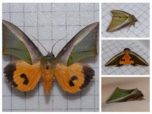 展翅時,豔葉夜蛾的不同風貌,美麗的顏色令人眼睛一亮!