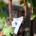 Grafted grapevine during first season